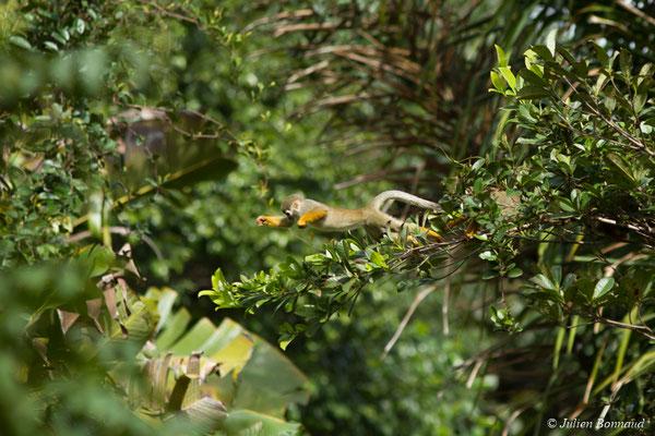 Singe écureuil ou Saïmiri (Saimiri sciureus) (Montsinéry, le 19/04/2017)
