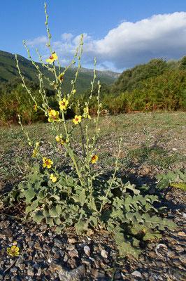 Molène sinuée (Verbascum sinuatum) (Belvédère-Campomoro (2A), France, le 09/09/2019)