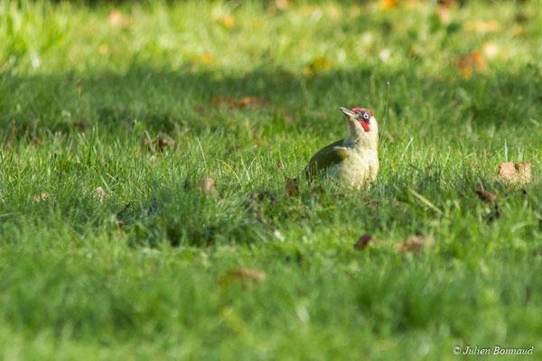 Pic vert (Picus viridis) (mâle adulte) (Pontivy (56), France, le 14/11/2017)