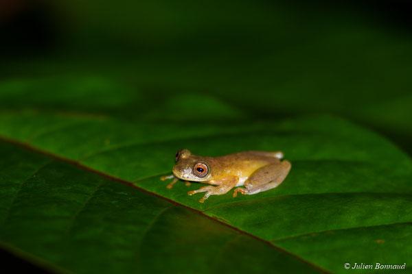 Rainette menue (Dendropsophus sp.3 aff. Minutus) (route de Kaw, le 15/07/2015)