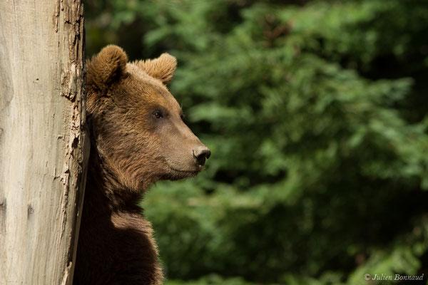 Ours brun – Ursus arctos Linnaeus, 1758, (individu âgé de 3 ans) (Parc animalier des pyrénées, Argelès-Gazost (65), France, le 01/04/2018)