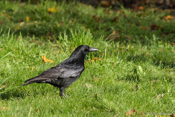Corneille noire (Corvus corone) (adulte) (Pontivy (56), France, le 13/11/2017)