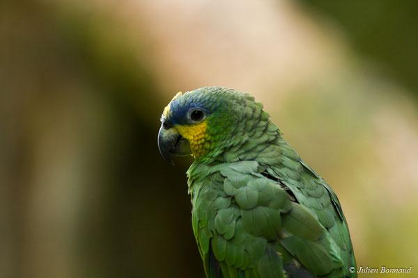 Amazone aourou (Amazona amazonica) (adulte) (Zoo de Guyane, Montsinéry, le 22/04/2017)