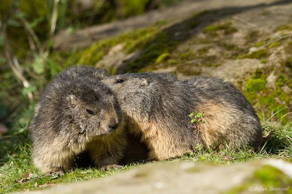 Marmotte des Alpes, Marmotte – Marmotta marmotta (Linnaeus, 1758), (Parc animalier des pyrénées, Argelès-Gazost (65), France, le 01/04/2018)
