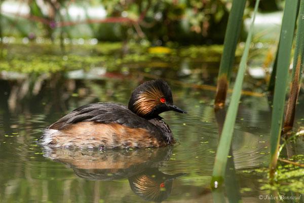 Grèbe à cou noir (Podiceps nigricollis) (adulte en plumage nuptial) (parc animalier des Pyrénées, France, le 15/07/2018)