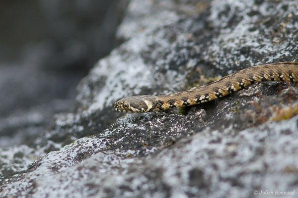 Couleuvre vipérine – Natrix maura (Linnaeus, 1758), (juvénile) (Gave de Pau, Denguin (64), France, le 28/05/2019)