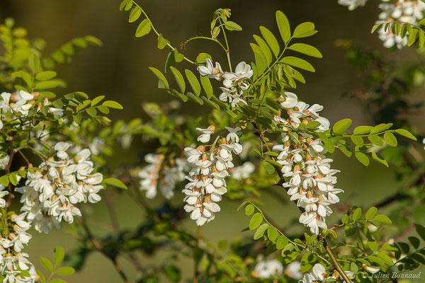 Robinier faux-acacia, Carouge (Robinia pseudoacacia) (Saint-Pée-sur-Nivelle (64), France, le 12/04/2021)