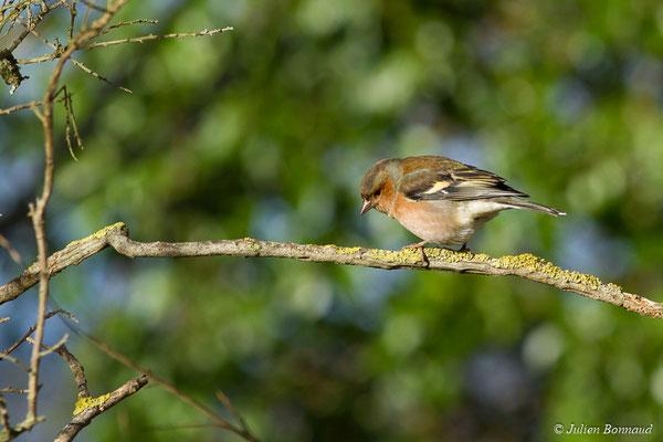Pinson des arbres (Fringilla coelebs) (mâle adulte) (Baie de Saint-Brieuc, Hillion (22), France, le 24/11/2017)