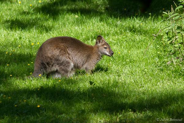 Wallaby de Bennett – Macropus rufogriseus (Desmarest, 1817), (Zoo d'Asson (64), France, le 01/06/2019)