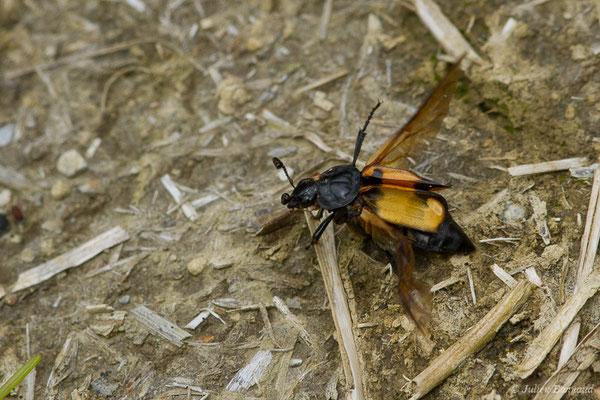 Nécrophore des agarics (Nicrophorus vespilloides) (Accous (64), France, le 21/05/2019)