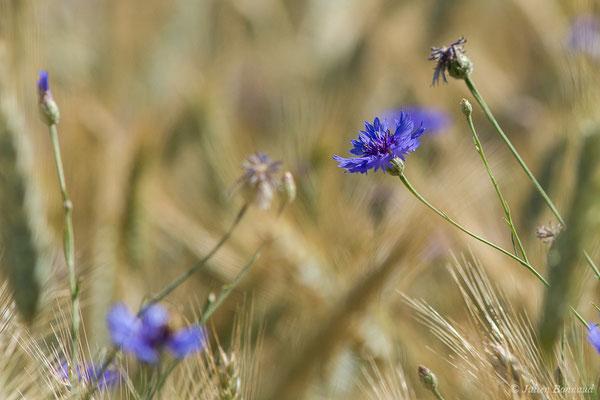 Bleuet – Cyanus segetum Hill, 1762, (Mézières-en-Brenne (36), France, le 13/06/2021)