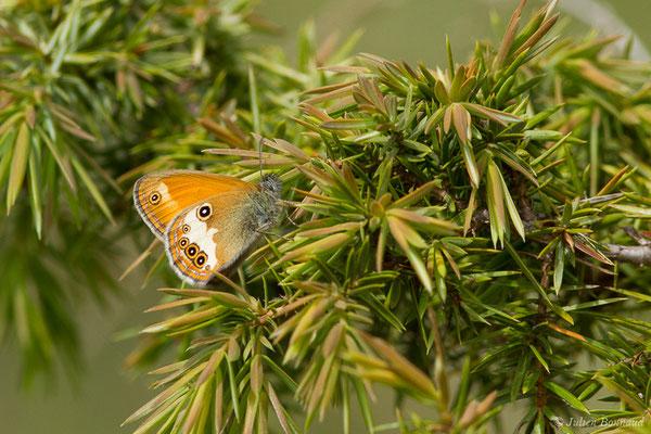 Céphale (Coenonympha arcania) (Pihourc, Saint-Godens (31), France, le 16/05/2019)