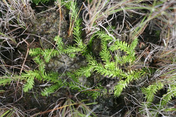 Lycopodiella caroliniana (Centre Spatial Guyanais, Kourou, le 13/05/2014)