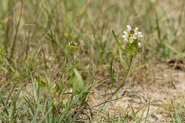 Brunelle laciniée (Prunella laciniata) (La Brède (33), France, le 11/06/2019)