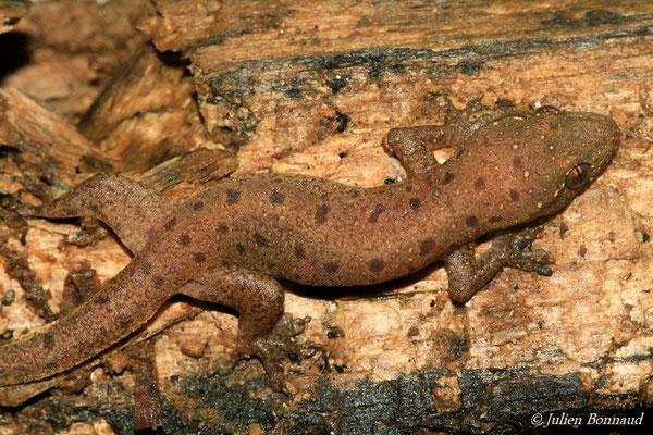 Gecko mutilé (Gehyra mutilata) (juvénile) (Remire-montjoly, le 07/06/2015)