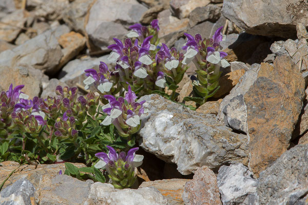 Scutellaire des Alpes (Scutellaria alpina) (Col du Pourtalet, Laruns (64), France, le 06/07/2019)