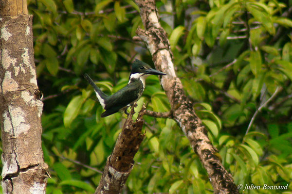 Martin-pêcheur d'amazonie (Cloroceryle amazona)