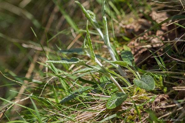 Séneçon à feuilles en spatule (Tephroseris helenitis) (fort du Portalet, Etsaut (64), France, le 05/04/2021)