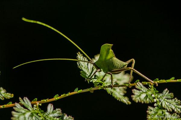 Pterochroza ocellata (Piste montagne Plomb, Kourou, le 30/07/2017)