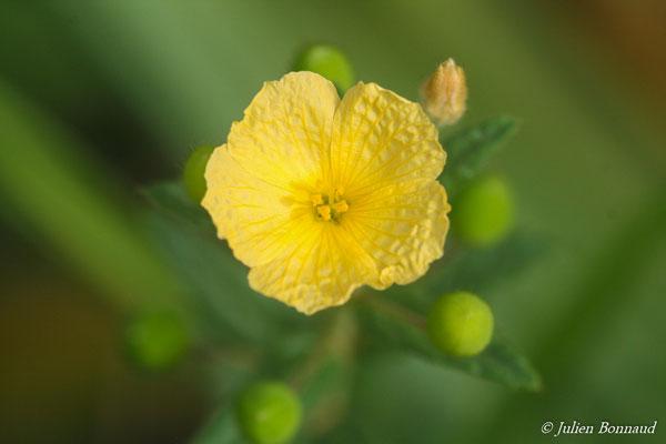 Piriqueta cistoides (Centre Spatial Guyanais, Kourou, le 12/05/2014)