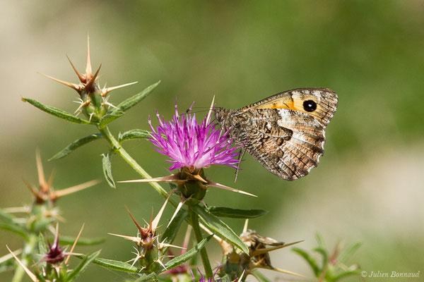 Agreste flamboyant (Hipparchia aristaeus) (Asco (2B), France, le 10/09/2019)