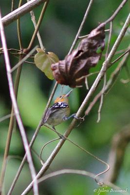 Myrmidon du Surinam (Myrmotherula surinamensis) (mâle, adulte)