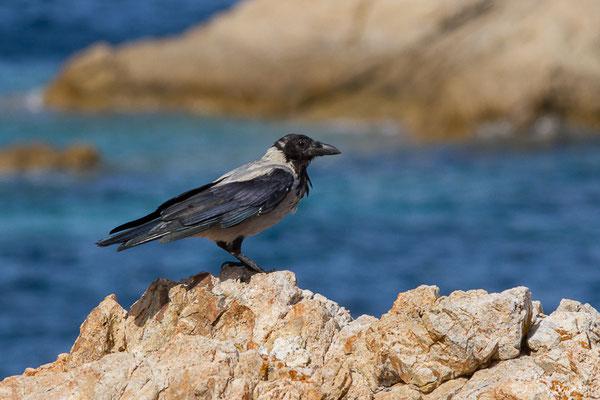 Corneille mantelée (Corvus cornix) (L'Île-Rousse (2B), France, le 14/09/2019)