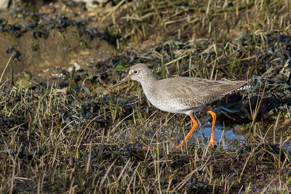 Chevalier gambette (Tringa totanus) (adulte en plumage internuptial) (Parc écologique Plaiaundi, Irun, Espagne, le 20/12/2020)