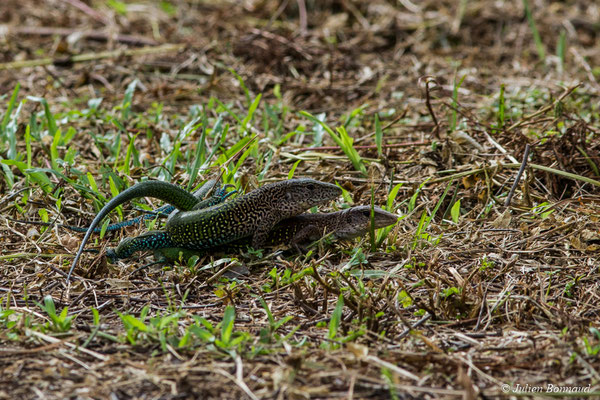 Ameive commun (Ameiva ameiva) (accouplement) (mine d'or Espérance, Apatou, le 11/05/2017)