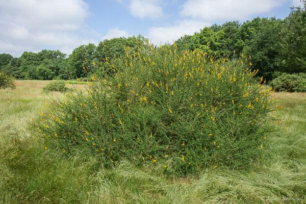 Genêt à balai ou Juniesse (Cytisus scoparius) (Laglorieuse (40), France, le 26/05/2020)