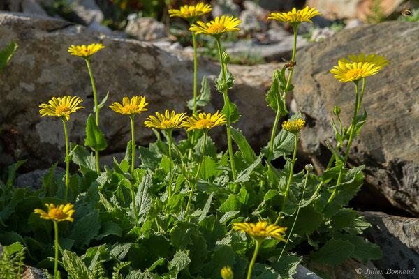 Doronic à grandes fleurs (Doronicum grandiflorum) (Station de ski de Gourette, Eaux Bonnes (65), France, le 30/07/2020)