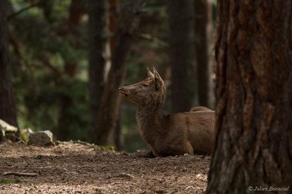 Cerf élaphe – Cervus elaphus Linnaeus, 1758, (Parc faunistique Lacuniacha, Huesca, Espagne, le 09/02/2020)