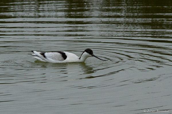 Avocettes élégantes (Recurvirostra avosetta) (adulte) (réserve ornithologique du Teich (33), France, le 23/01/2018)