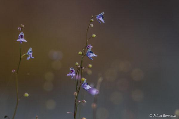 Utricularia sp. (Savane-roche Virigie, Régina, le 16/07/2017)