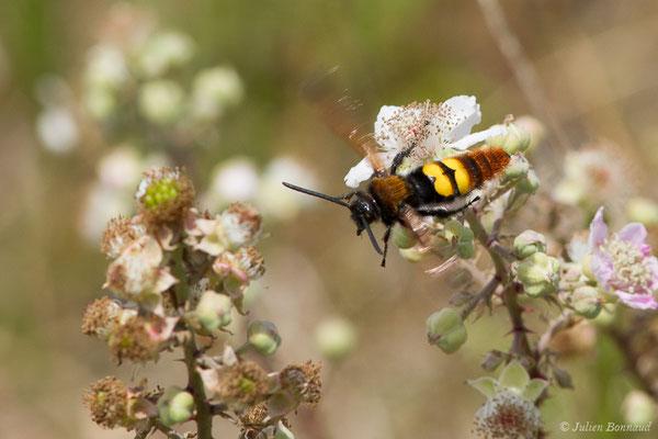 Scolie des jardins (Megascolia maculata) (Boucau (64), France, le 23/06/2019)