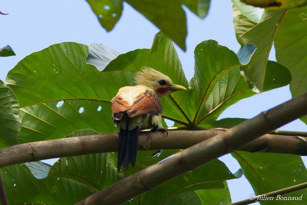 Pic jaune (Celeus flavus) (mâle adulte) (Iracoubo, le 12-07-2016)