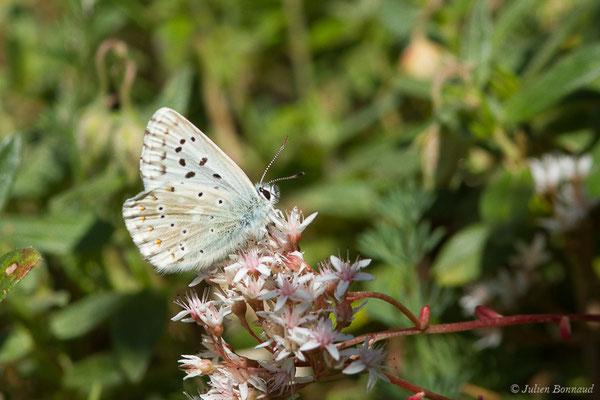 Argus bleu-nacré (Lysandra coridon) (Laruns (64), France, le 03/08/2019)