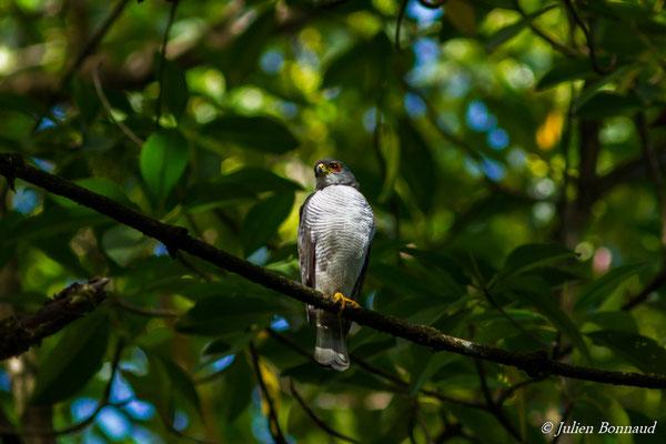 Épervier nain (Accipiter superciliosus) (adulte) (sentier des Salines, Remire-Montjoly, le 30/12/2016)