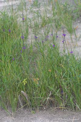 Stachytarpheta angustifolia (Centre Spatial Guyanais, Kourou le 12/05/2014)