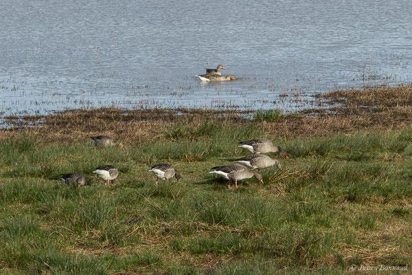 Oie cendrée (Anser anser) (réserve des barthes de Saint-Martin-de-Seignanx (64), France, le 19/01/2019)