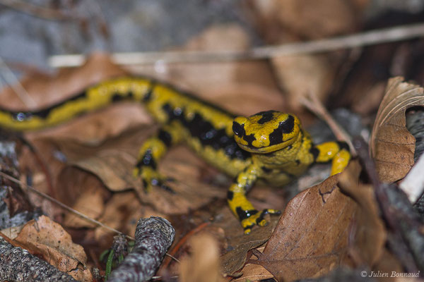Salamandre tachetée – Salamandra salamandra fastuosa (Schreiber, 1912), (adulte) (La Pierre Saint-Martin (64), France, le 18/05/2020)
