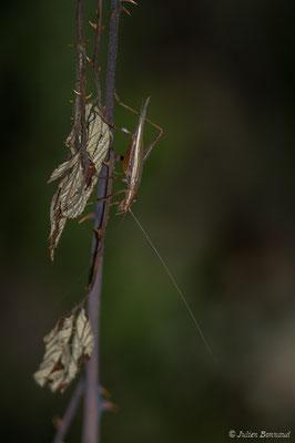 Grillon d'Italie (Oecanthus pellucens) (Parbayse (64), France, le 19/08/2019)