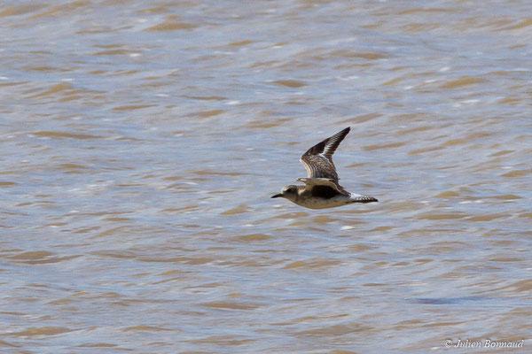Pluvier argenté – Pluvialis squatarola (Linnaeus, 1758), (adulte, plumage internuptial) (Route des plages, Remire-Montjoly, Guyane, le 29/03/2017)