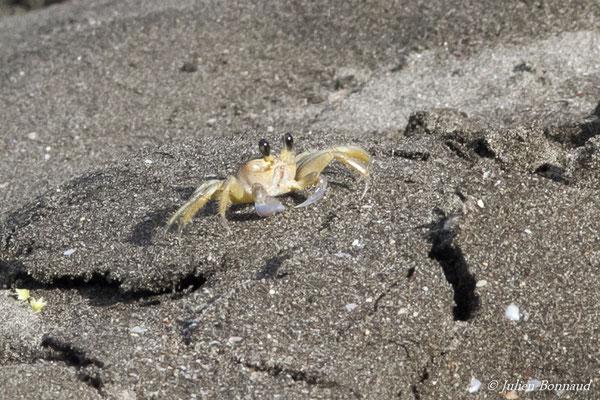 Crabe fantôme atlantique (Ocypodes quadrata)