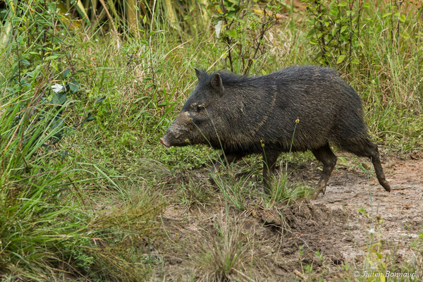 Pécari à collier (Pecari tajacu) (Zoo de Guyane, Montsinéry, le 09/07/2017)
