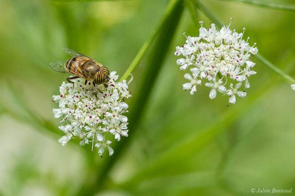 (Eristalinus taeniops) (Bayonne (64), France, le 06/05/2021)