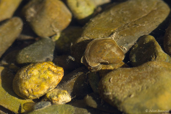 Limnée conque (Radix auricularia) (Gave de Pau, Artiguelouve (64), France, le 26/03/2019)