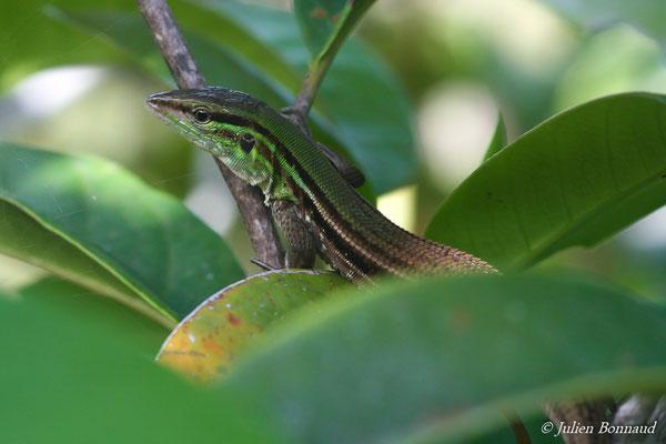 Kentropyx strié (Kentropix srtiata) (adulte) (Centre Spacial Guyanais, Kourou, le 07/05/2014)