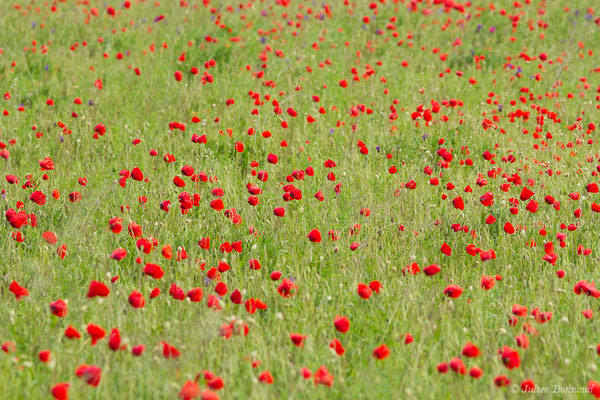 Coquelicot (Papaver rhoeas) (Anglade (33), France, le 09/05/2019)