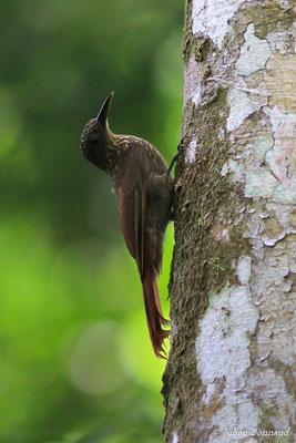 Grimpar flambé (Xiphorhynchus pardalotus)